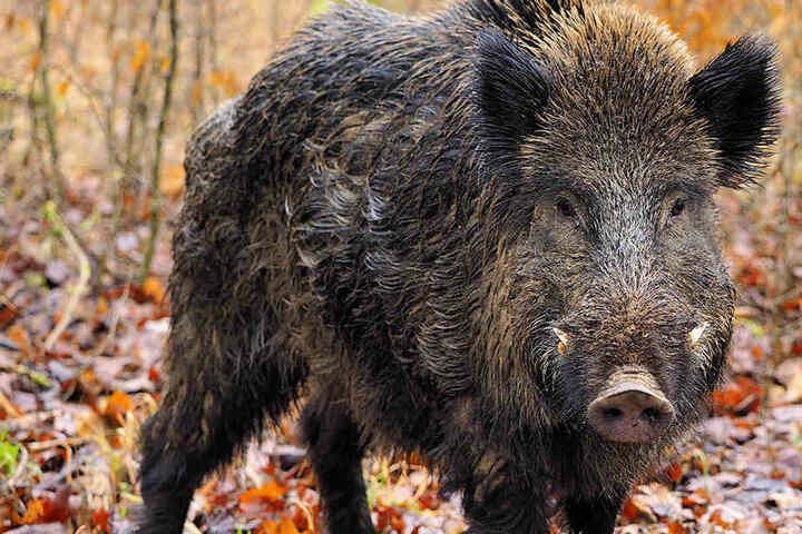 Damit die Schweinepest nicht über die Grenze nach Sachsen kommt, soll jetzt verstärkt Jagd auf die Wildschweine gemacht werden.