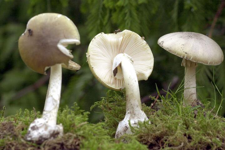 Der Vergleich mit dem ersten Foto zeigt es: Grüne Knollenblätterpilze sehen Wiesen-Champignons verblüffend ähnlich.