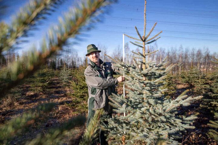 Förster Ullrich Göthel (49) rät: Beim Fällen sollte lieber Säge statt Axt zum Einsatz kommen. So hält der Baum länger.