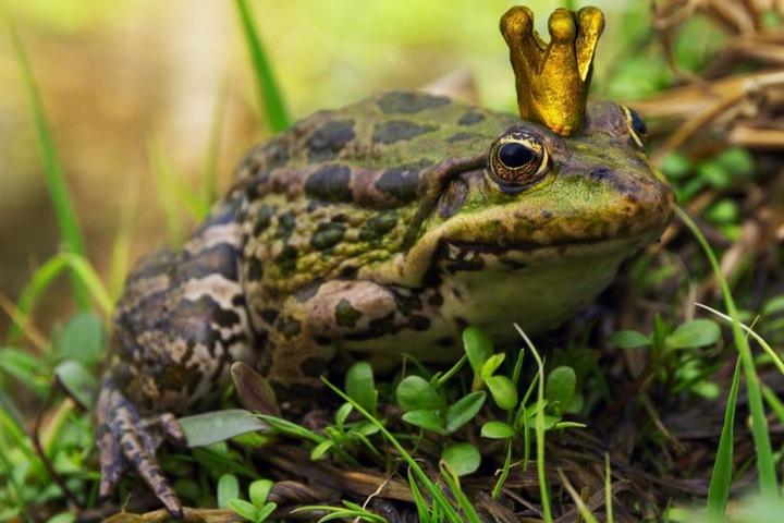 Diesen Sonntag steht der Froschkönig auf dem Programm. (Symbolbild)