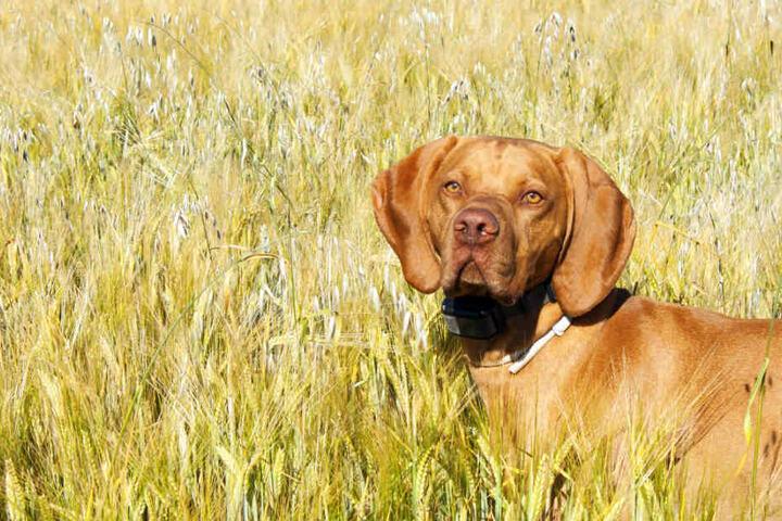 Vermutlich beim Laufen durch ein Getreidefeld atmete Lilly eine Ähre ein. (Symbolbild)