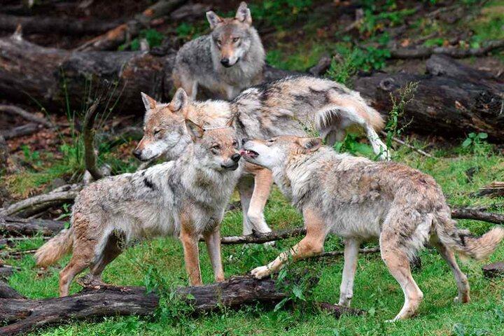 Im Rudel sind Wölfe echte Füchse. Ihre Kommunikation und Cleverness ist im Tierreich kaum erreicht.