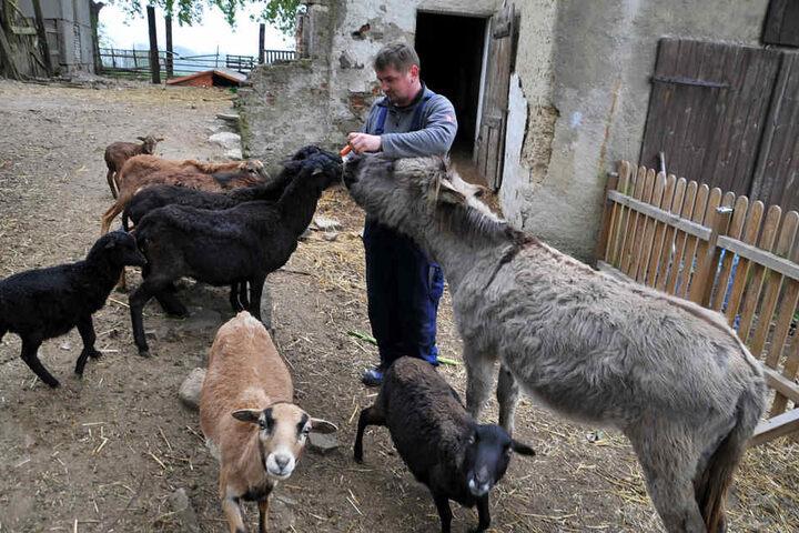 Esel Karlo teilt sich mit seinen Schafs-Kumpels auch das Futter, das hier von Junior René May gereicht wird.
