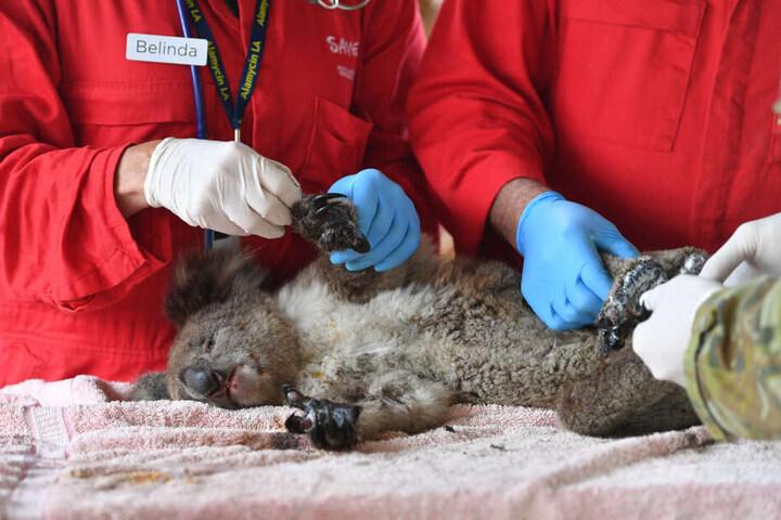 Wegen der verheerenden Buschfeuer in Australien sind nach jüngsten Expertenschätzungen mindestens eine Milliarde Tiere ums Leben gekommen. (Archivbild)