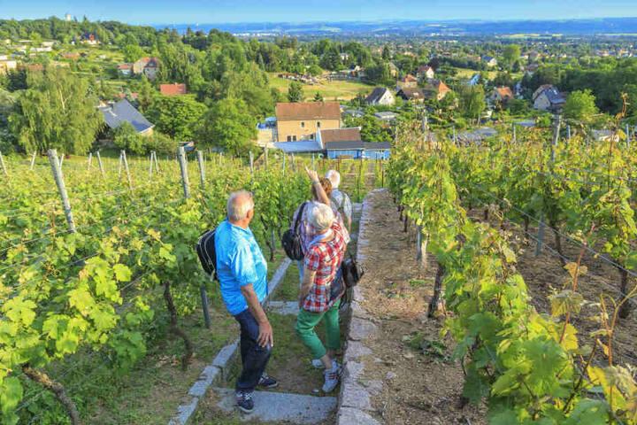 Das Elbland konnte vor allem mit schönen Weinbergen (wie hier in Weinböhla) bei den Touris punkten.