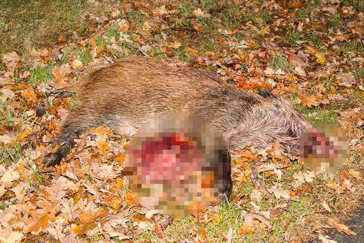 Der Fahrer konnte dem Wildschwein nicht mehr ausweichen und erfasste es.