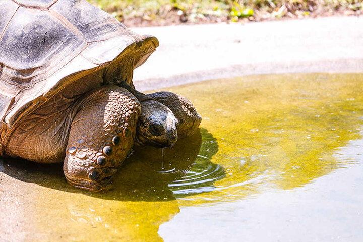 Auch im Zoo bei den Riesenschildkröten waren die Plätze am Wasser begehrt.