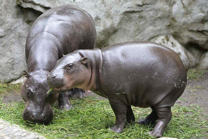 So süß! Am Samstag besuchen die Nilpferdfreunde die Zwergflusspferd-Familie im Tierpark Chemnitz.