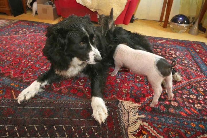 Hündin Molly säugt das knapp sechs Wochen alte Ferkel Rosa.