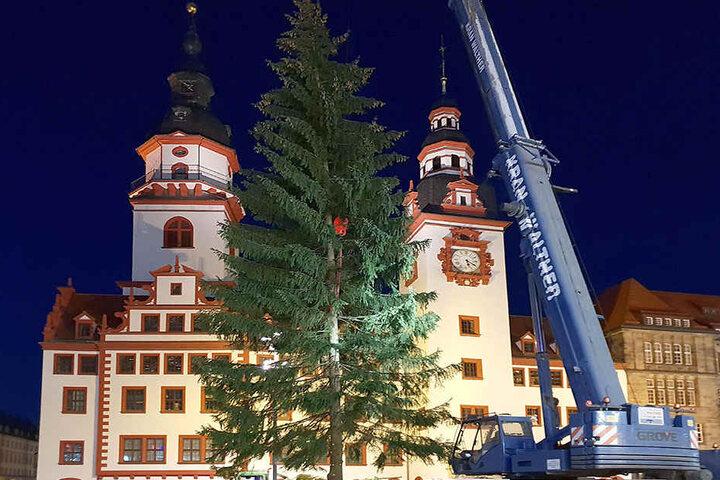 Keine Krücke: Die Weihnachtsfichte nach dem Aufrichten auf dem Chemnitzer Markt.