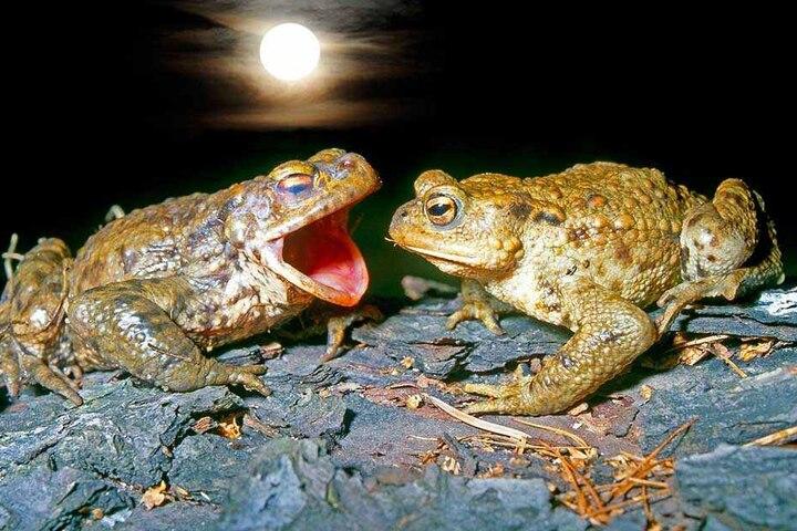 Und nur der Mond hörte zu, als der Erdkrötenmann seiner Angebeteten ein Ständchen sang.