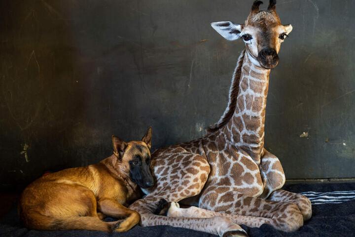 Giraffe Jazz hatte sich mit Hund Hunter angefreundet. Der Vierbeiner bleibt nun trauernd zurück.