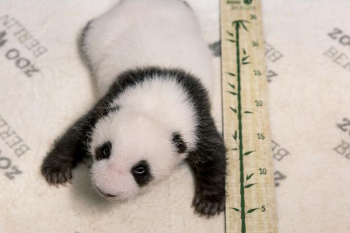 Eines der beiden Panda-Jungtiere wird vermessen.
