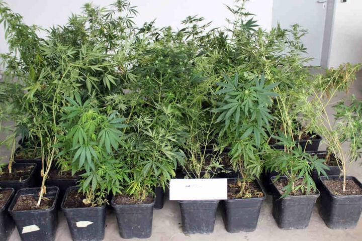 Die Polizei stellte auf dem Dachboden zahlreiche Pflanzen Cannabis sicher.