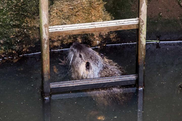 Eine Nutria schwimmt im Stadtteil Ochsenwerder in einer Schleuse. Das Tier war am Freitagvormittag im Mai 2019 in einer Schleuse der Elbe entdeckt worden und mit Hilfe der Feuerwehr befreit worden.
