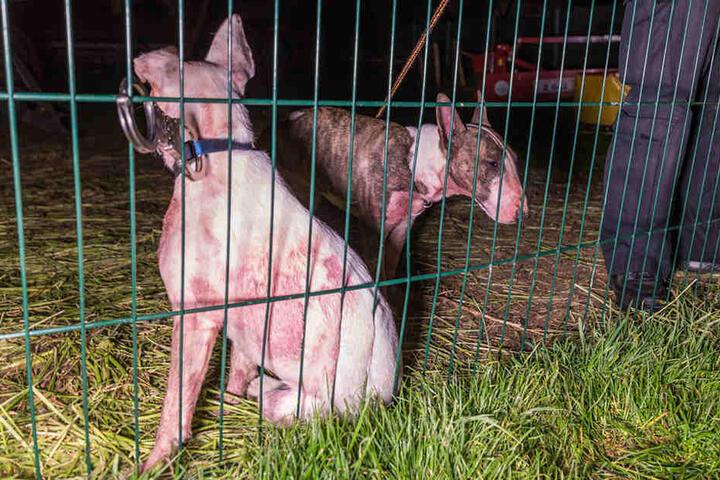 Ihre Halterin hatte am Donnerstagabend die Polizei verständigt, weil die Tiere ausgebüxt waren.