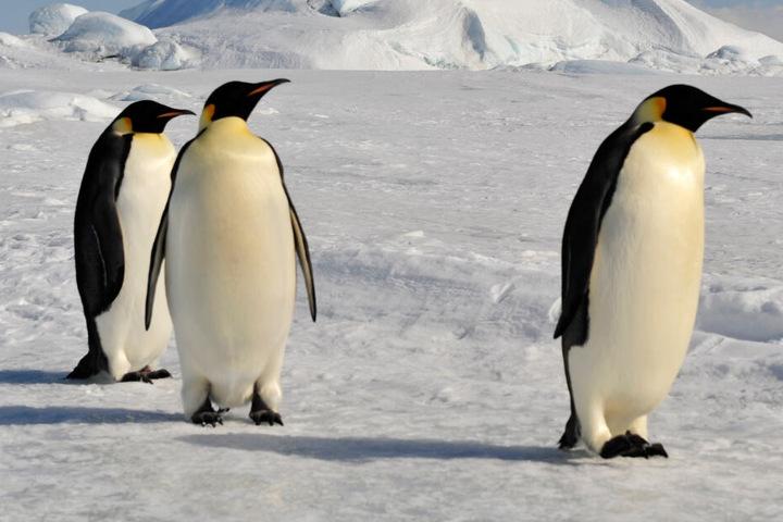 Die heute größten Pinguine sind die Kaiserpinguine in der Antarktis.