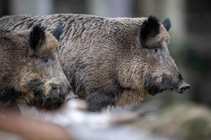 Zwei Wildschweine stehen auf einem Plateau im Wald. Die Schweinepest ist bedrohlich Nahe an die deutsche Grenze herangerückt. (Symbolbild)