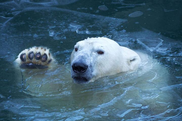 Im Winter fühlen sich Eisbären erst so richtig wohl.