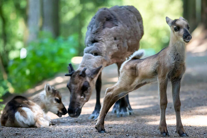 Die Jungtiere erkunden schon fleißig in Begleitung ihrer Mutter das begehbare Gehege.