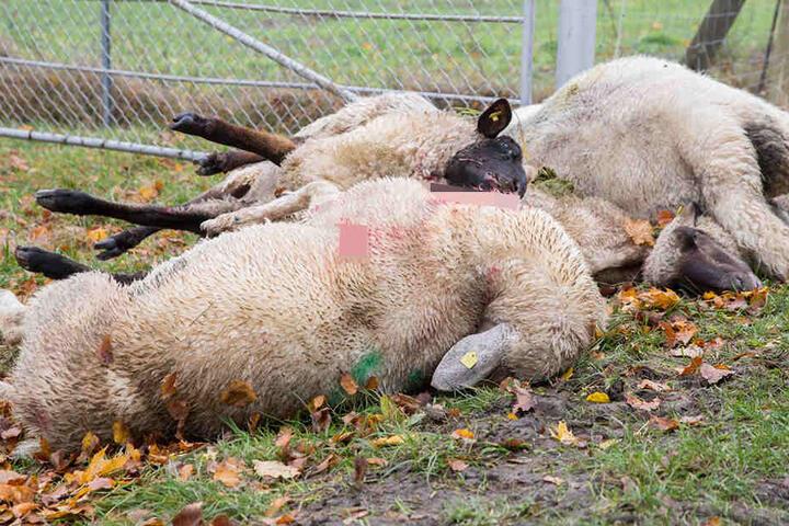 Im Herbst 2016 starben bei einem Wolfsangriff mehrere Schafe.