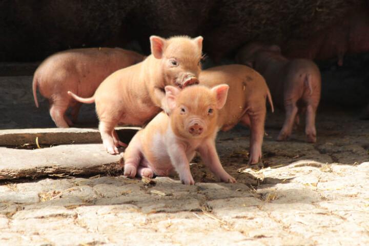 Insgesamt 14 Minischwein-Ferkel von zwei Müttern toben aktuell durch das Gehege im Halleschen Zoo.