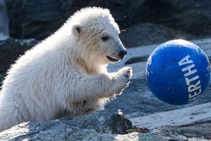 Pandamädchen Hertha hat Spaß mit dem Ball.