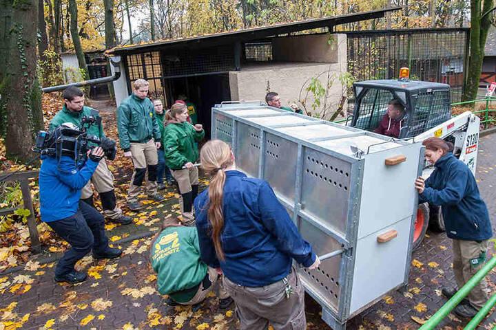 In einer Transportkiste wird Tigers Volodya ins sein neues Zuhause gebracht.