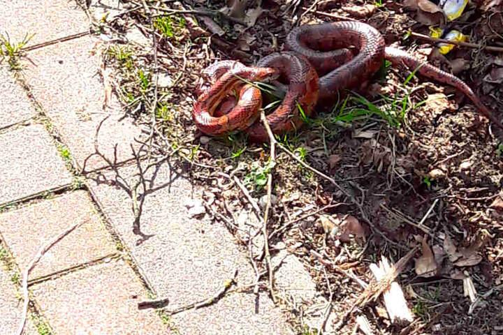 Die circa 1,50 m lange Schlange nahm anscheinend gerade ein Sonnenbad, als die Passantin sie entdeckte.