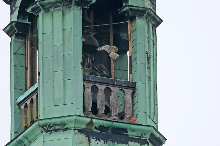 Der Falke war durch ein Taubenabwehr-Gitter im Turm gefangen.