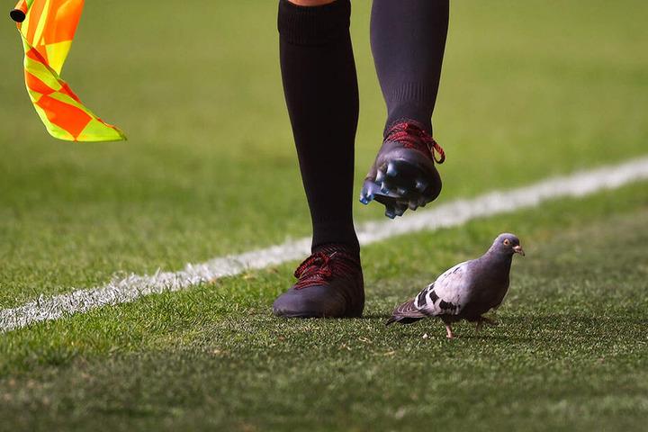 Eine Taube ließ sich überhaupt nicht von den vielen Menschen beeindrucken und suchte am- und auf dem Spielfeld nach Nahrung.