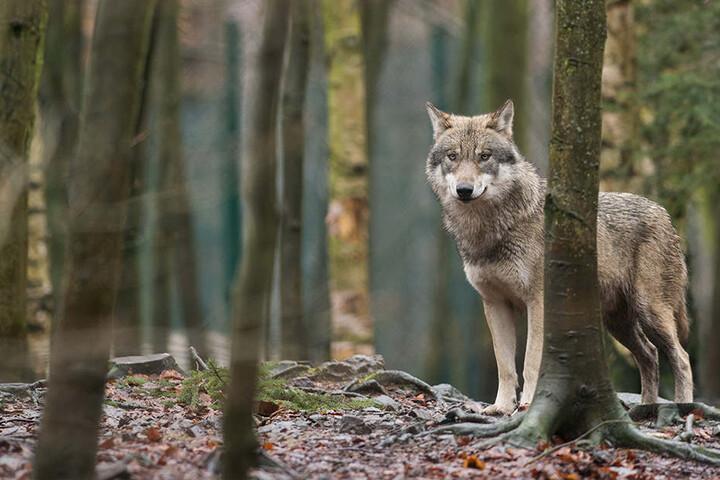 Laut Landesuntersuchungsanstalt wurde das Kalb nicht von einem Wolf getötet.