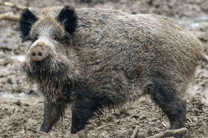 Niedlich und gefährlich zugleich: Dieses Wildschwein wurde im Januar 2018 fotografiert.