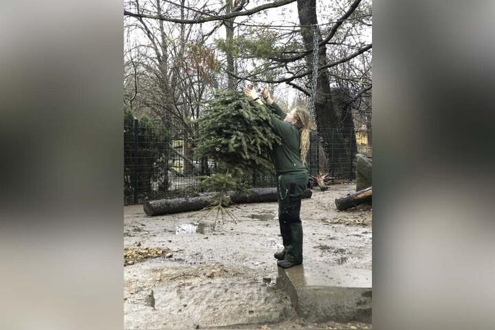 Eben noch geschmückt in der guten Stube, jetzt Spielgerät für Zootiere. Dresdner Weihnachtsbäume werden für den guten Zweck mehrfach benutzt.