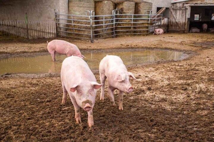 Verglichen mit anderen Agrar-Betrieben hat man in Otterwisch Schwein gehabt. Trotzdem geht es am Ende zum Metzger.