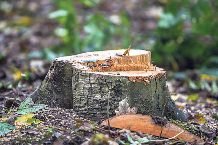 Abgeholzt - auch diese Esche musste fallen, weil der Pilz sie instabil werden ließ.
