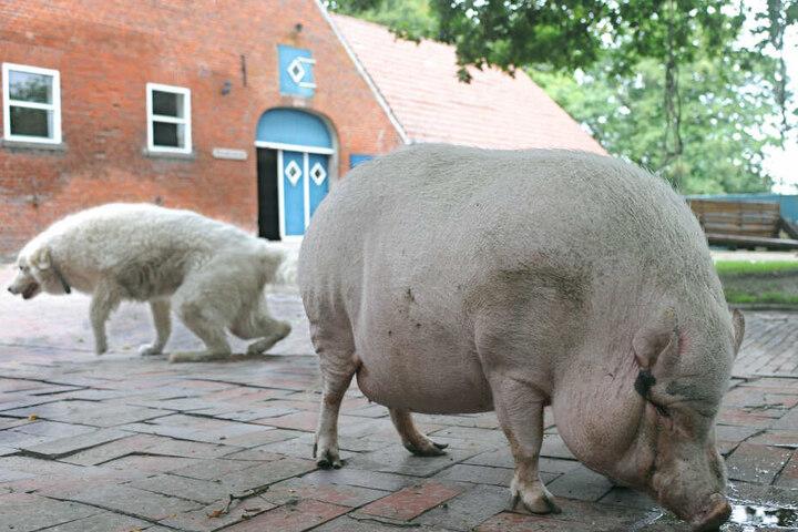 Das Tier wurde erstmal bei einem Landwirt untergebracht. (Symbolbild)