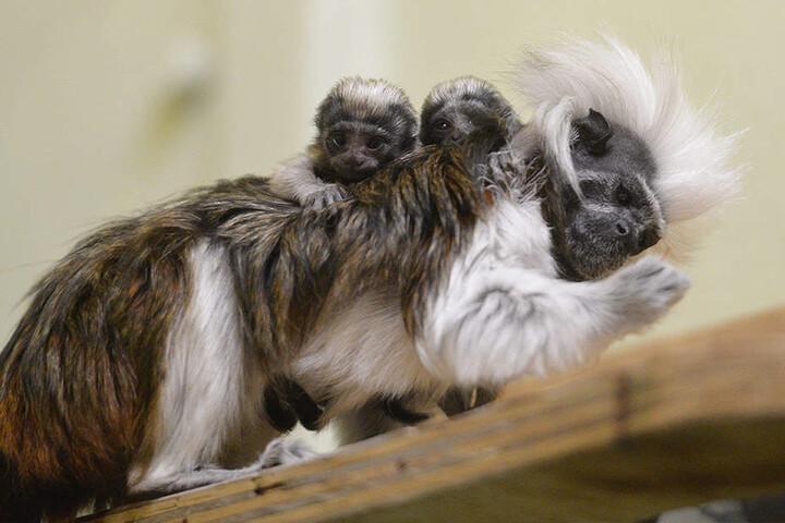 Baby-Alarm auch im Chemnitzer Tierpark: Bei den Lisztäffchen wurden Zwillinge geboren.