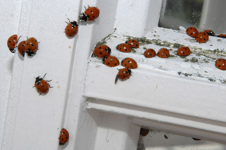 Wenn es kälter wird, sind die Käfer gemeinsam unterwegs.