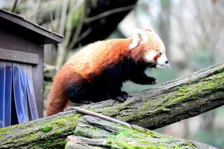 Der Pandanachwuchs erkundet sein Gehege im Dresdner Zoo.