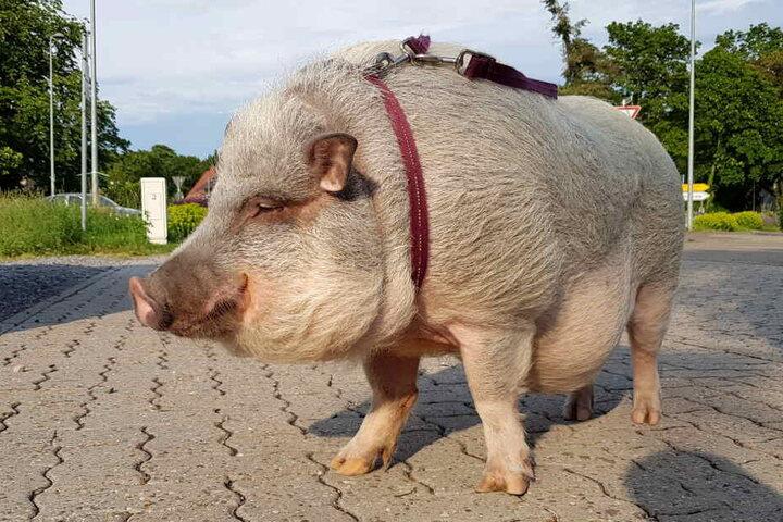 """Im Schlepptau hatte der Mann sein """"Minischwein Max""""."""