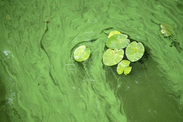 Algen auf einem See. (Symbolbild)