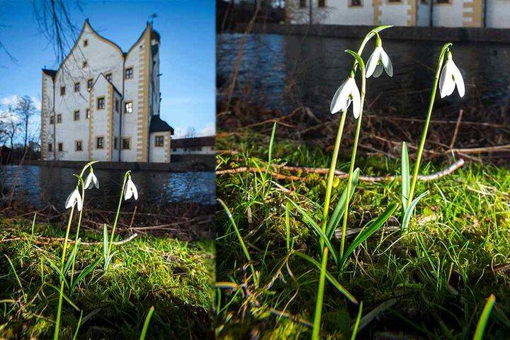 Am Wasserschloss Klaffenbach blühen die Schneeglöckchen.