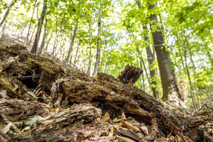 Schon jetzt dient Totholz in dem Wald 210 Käferarten als Lebensraum. Spannend, wie es in einigen Jahrzehnten aussehen wird.