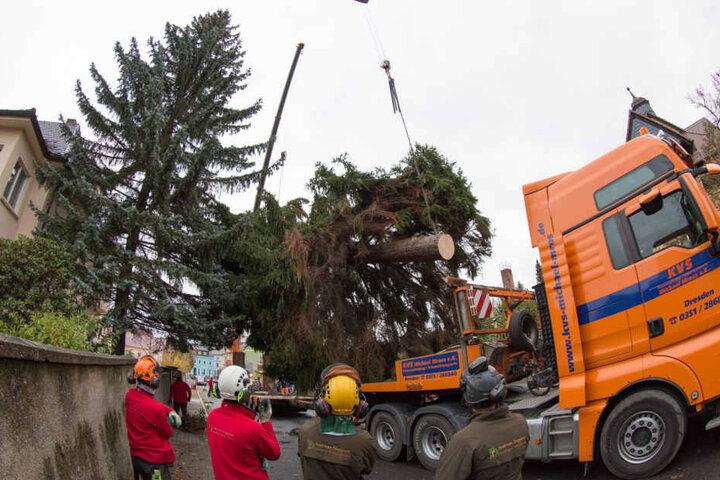 Mit einem Tieflader wird die 23,5 Meter lange Rotfichte zum Altmarkt gekarrt.