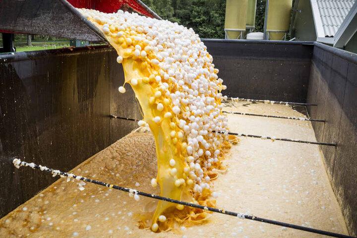 Im Auftrag der niederländischen Lebensmittelkontrollbehörde NVWA werden am 2.8.2017 rund eine Million Eier aus einer Geflügelfarm in Onstwedde (Niederlande) zerstört, weil sie mit dem Insektizid Fipronil verseucht sind.