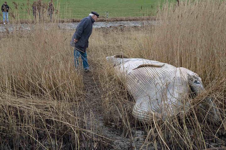 Der Zwergwal soll bereits seit ein bis zwei Wochen tot sein.
