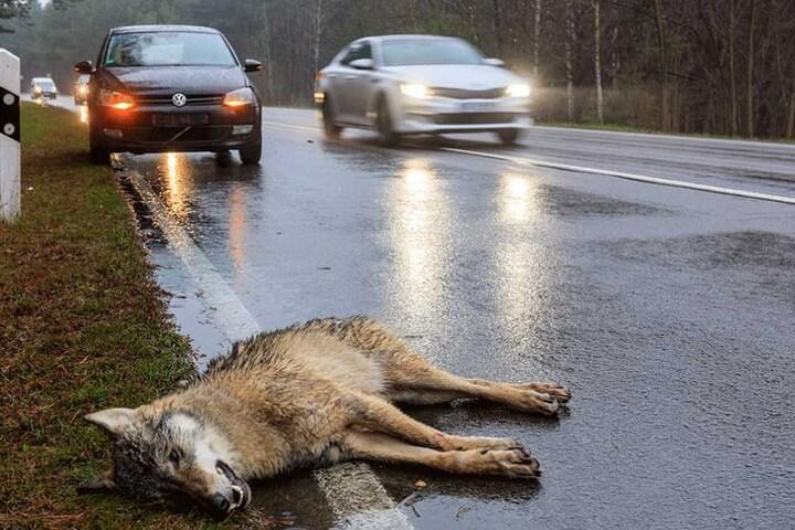 Immer wieder kollidieren Wölfe mit Autos. Wie hier in der Lausitz nahe Vetschau.