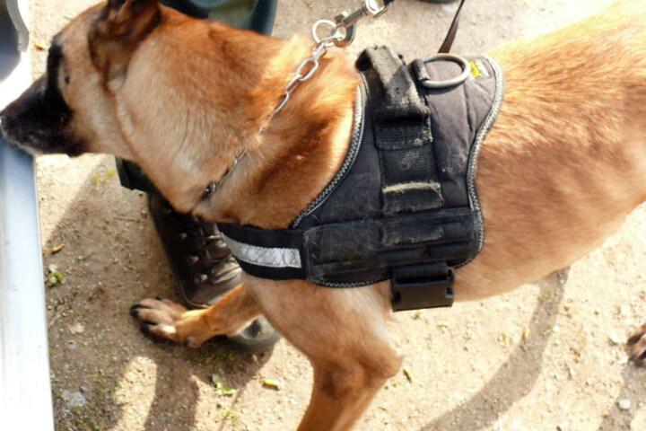 Ein Rauschgifthund der Polizei hatte in Passau in Bayern den richtigen Riecher. (Symbolbild)