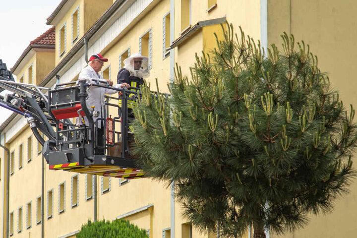 Der Imker wurde über die Drehleiter der Feuerwehr an den Baum herangebracht.